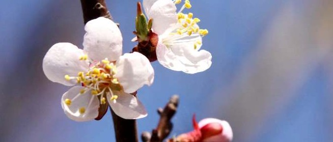 flores de albaricoque
